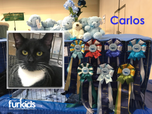 Furkids Shine at 2019 Cotton States Cat Show