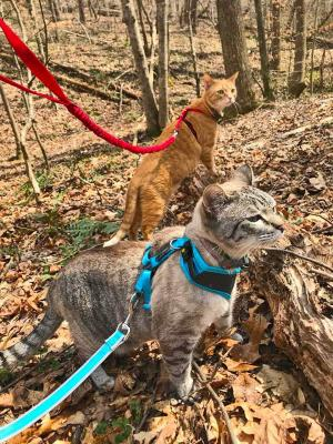 The Outdoors Await!  How to Harness Train Your Cat